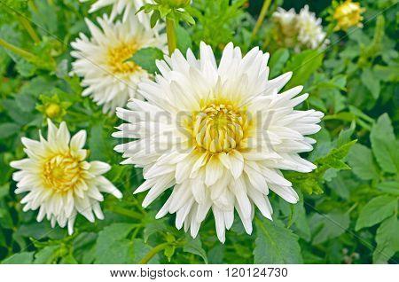 Dahlia-cactus white  flower