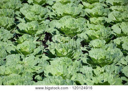 green cauliflower plants