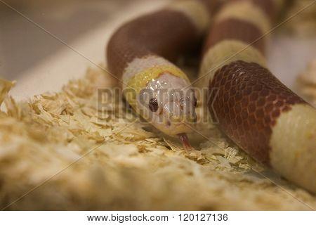 red little snake