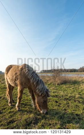 Eating Icelandic Horse With Blonde Manes From Close