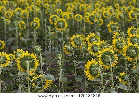 Turned sunflowers.