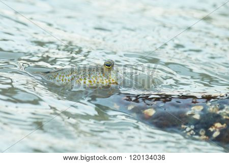 Portrait of a Gold Spotted Mud Skipper ** Note: Visible grain at 100%, best at smaller sizes