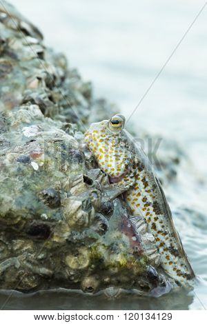 Portrait of a Gold Spotted Mudskipper clinging onto a rock ** Note: Visible grain at 100%, best at smaller sizes
