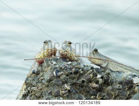 Portrait of a Gold Spotted Mudskipper clinging onto a rock