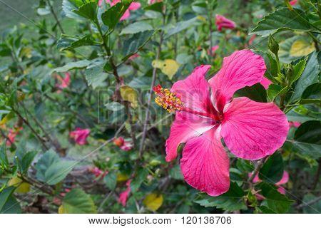 Hibiscus flower or Pink hibiscus flower in garden