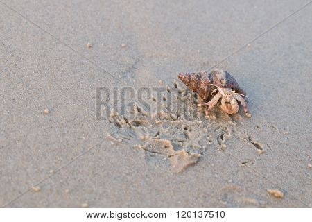 Small Hermit Crab With Shell On Sand Beach In Sunset Time
