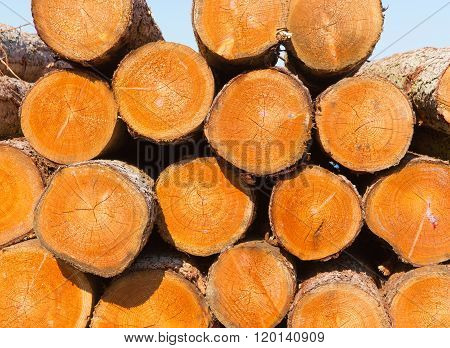 Felled tree logs which have been sawn and stacked in a forest