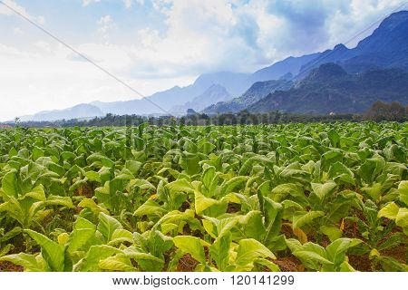 Tobacco field plantation under blue sky