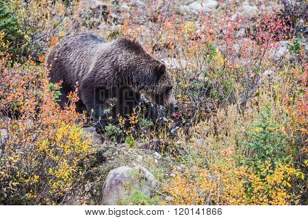 Autumn forest in Jasper National Park, Canada. Big brown bear looking for berries, edible roots and acorns