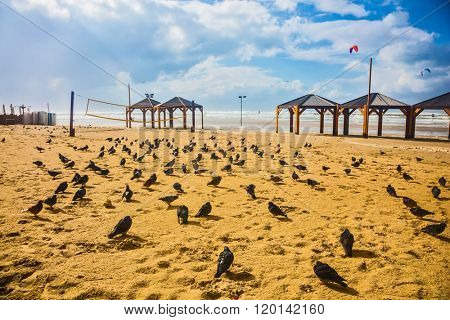 The beach in Tel Aviv. Windy winter day in January. Large flock of pigeons resting on the sand