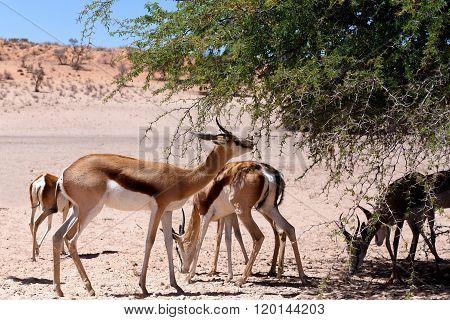 Springbok Antidorcas Marsupialis In Kgalagadi