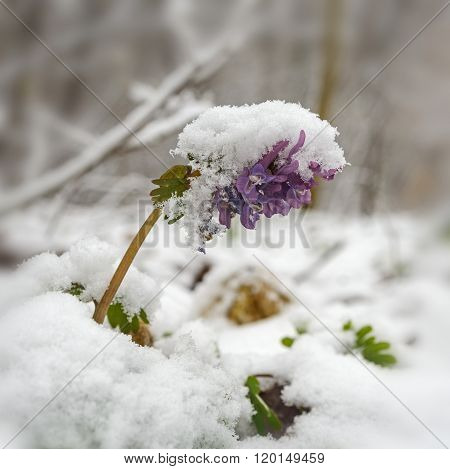Flower Of Birthwort Under Snow
