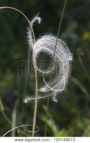 Feather Grass_close-up