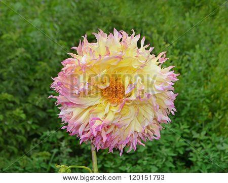 Closeup of dahlia flower.