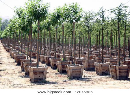 Rows of baby trees.