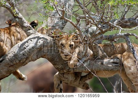 A Lion On Tree In Tsavo-west National Park