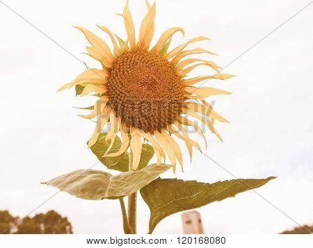 Retro Looking Sunflower Flower