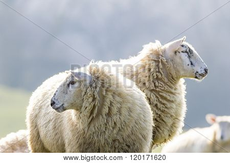 Two back lit sheep staring to left and right on a bright winter morning