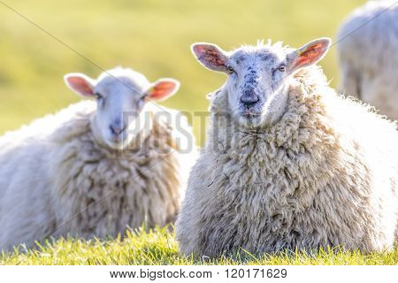 Back lit sheep lying down on grass facing camera on a sunny winters day