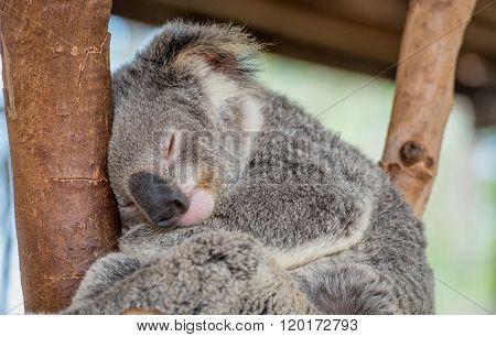 Sleeping Koala Bear In Tree