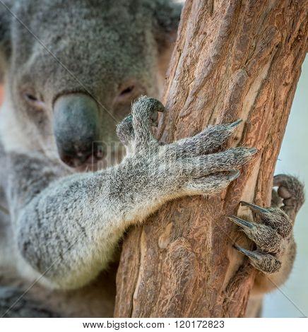 Koala Bear Claw On Tree