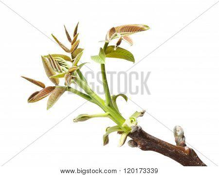 Walnut Twig At Spring