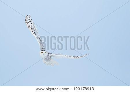 Snowy Owl , Bubo Scandiacus
