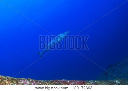 Barracuda fish in sea