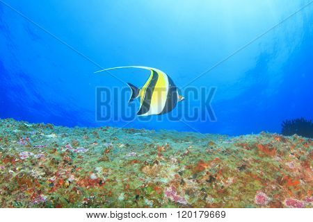 Underwater reef with tropical fish (Moorish Idol)