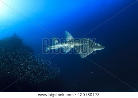 Shark Ray (Bowmouth Guitarfish) (Guitar Shark) (Rhina anclyostoma)