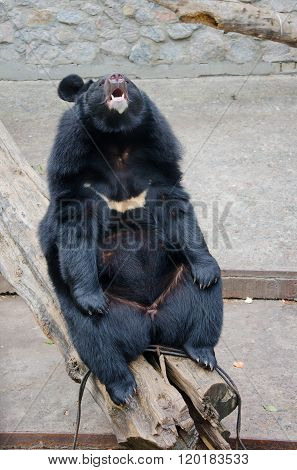 Funny Asian Black Bear