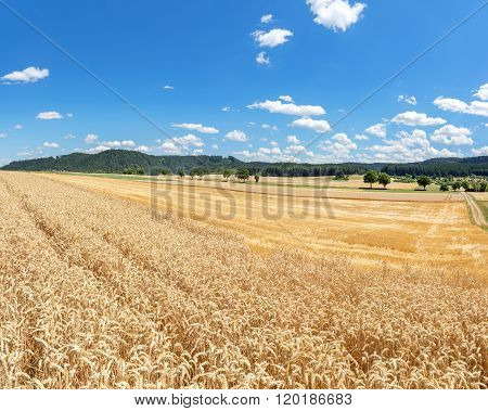 Wheat field in rural landscape