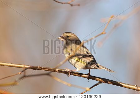 Greenfinch (Carduelis chloris) on a twig