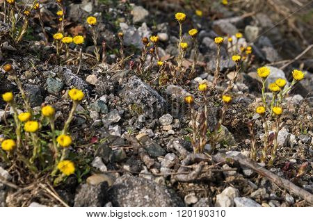 Tussilago farfara on gravel