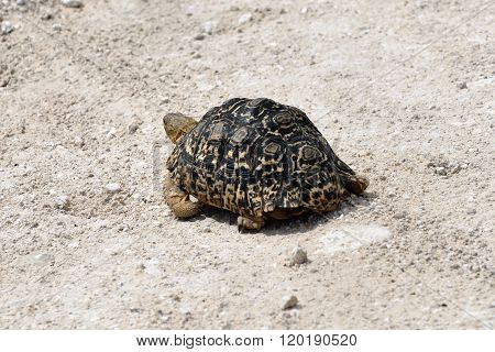 Tortoise, Namibia, Africa