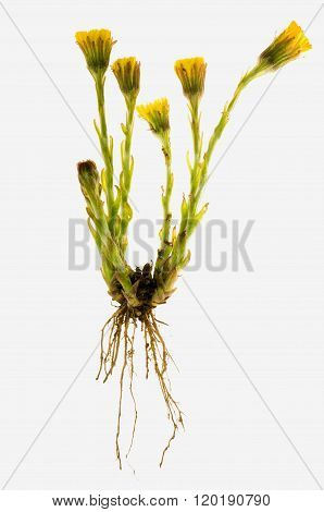 Tussilago farfara on a white background