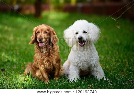 Poodle And Cocker Spaniel