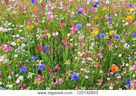 Flower Meadow With Various Colorful Flowers