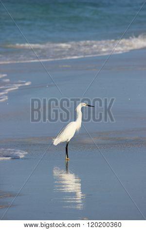 Egret on Beach