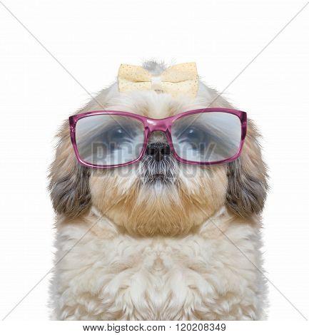 Dog Wears Glasses. He Has Very Poor Eyesight