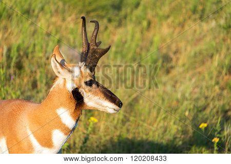 Pronghorn Antelope Closeup