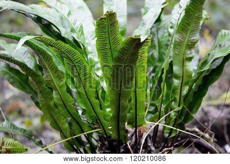 Hart's-tongue fern (Asplenium scolopendrium)