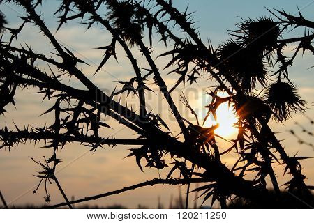 Thorny Burdock Flower Silhouette On A Winter Sunset