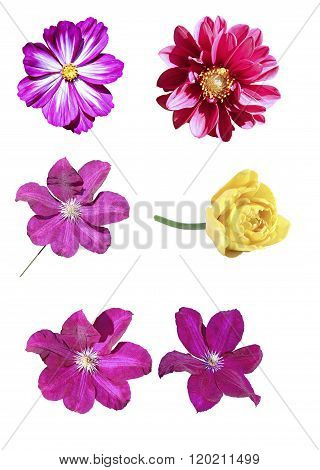 Pink Kosmeya, Yellow Tulip, Big Flower Of Red Clematis And Red Flower Dahlia Isolated
