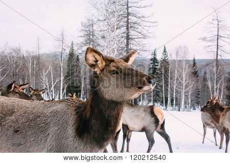 Portrait of majestic adult red deer in winter forest