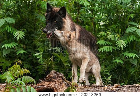 Grey Wolf Pup (canis Lupus) Sniffs At Black Wolf
