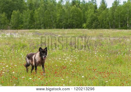 Black Grey Wolf (canis Lupus) Moves Through Field