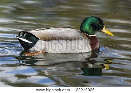 Reflection Of A Mallard Duck In Water.