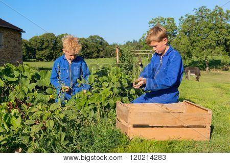 Farm boys picking the beans in vegetable garden