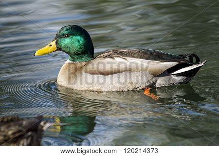 Male Mallard Swims In Pond.